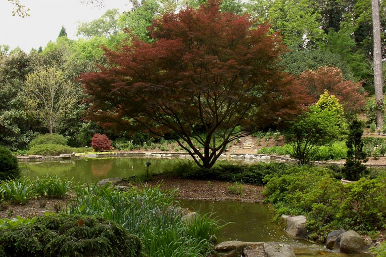 Specimen Bloodgood Japanese Maple Buckhead Estate, Garden Architects, Inc.