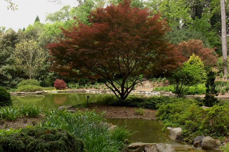 Specimen Bloodgood Japanese Maple Buckhead Estate, Garden Architects, Inc.